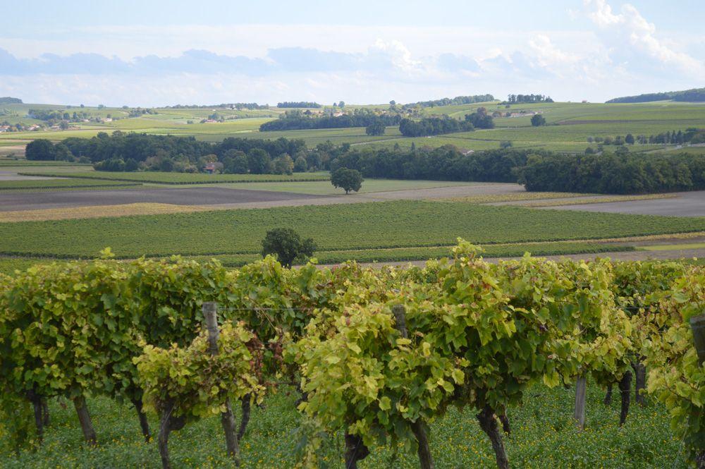 Cognac - Paysage de vignes