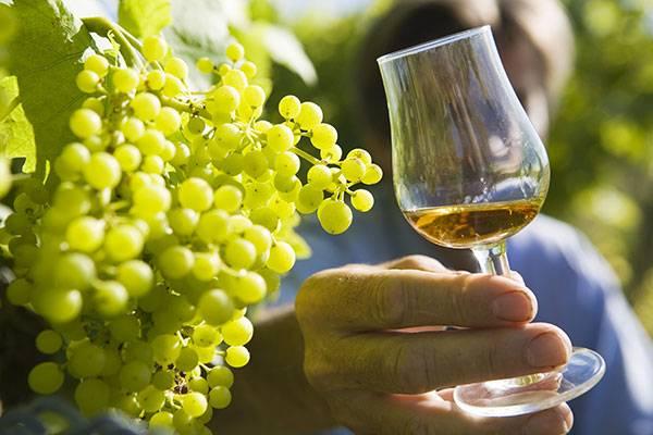 Terroir - Vignes - Cognac